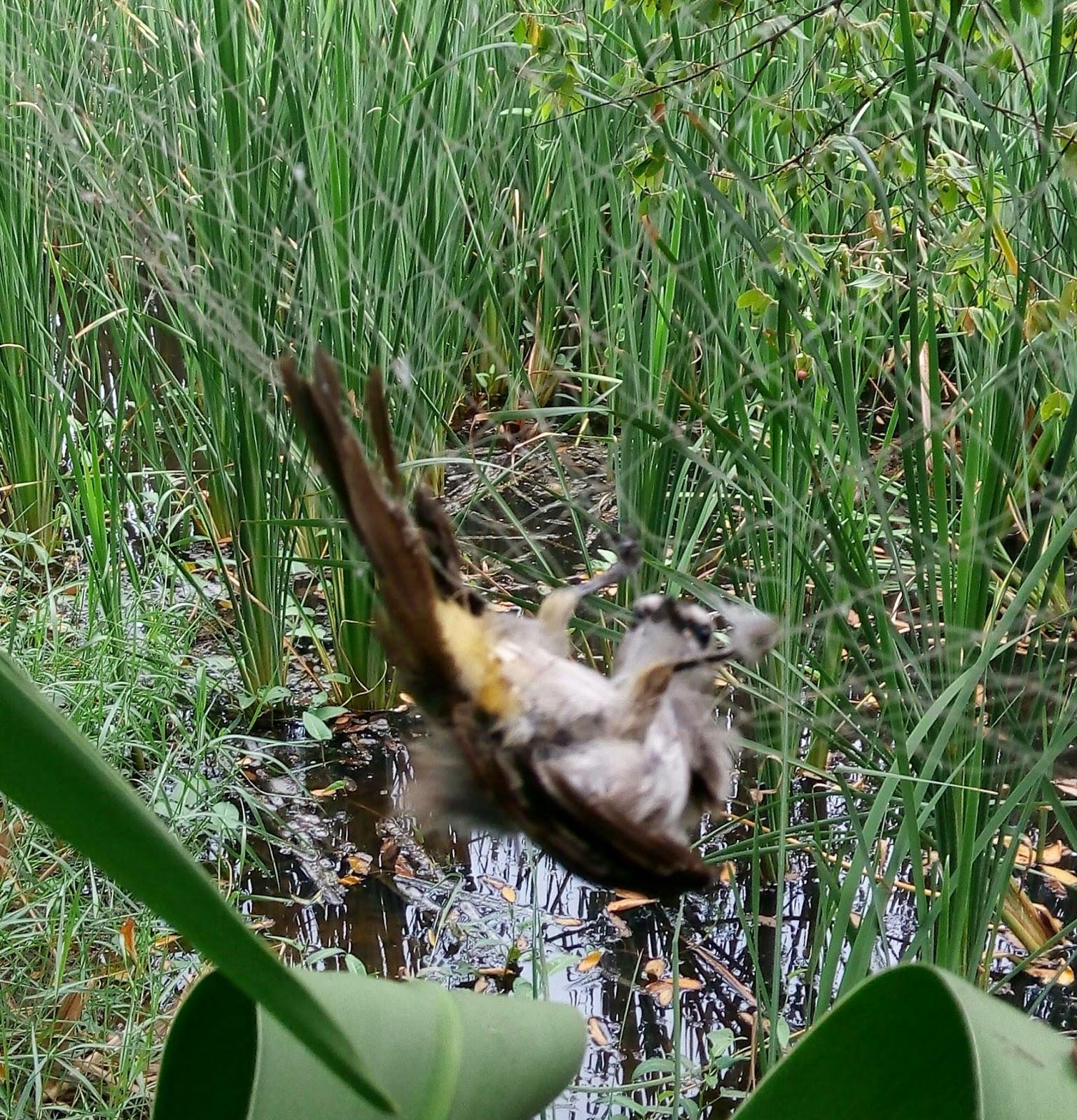 burung kutilang terjerat jaring